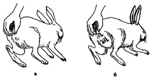 как у кроликов определить пол фото